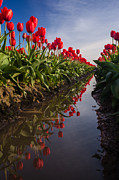 Festival Photos - Soaring Crimson Tulips by Mike Reid