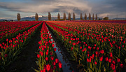 Skagit Framed Prints - Soaring Fields of Red Framed Print by Mike Reid