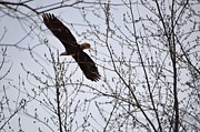 Eagle Photos - Soaring High by Duane Klipping