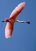 Beach Photo Posters - Soaring High Roseate Spoonbill Poster by Sabrina L Ryan