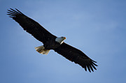 American Eagle Photos - Soaring by Kim Hojnacki
