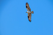 Haybales Art - Soaring Osprey by Robert Bales