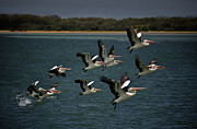 Australian Open Metal Prints - Soaring Pelicans 2 Metal Print by Heng Tan