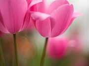 Depth Of Field Posters - Soaring Pink Tulips Poster by Mike Reid