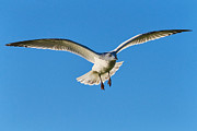 Flying Gull Posters - Soaring Poster by Susie Peek-Swint