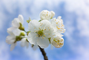 Apple Blossoms Prints - Soft and bright white apple blossom Print by Matthias Hauser