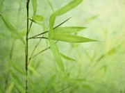 Green Foliage Metal Prints - Soft Bamboo Metal Print by Priska Wettstein
