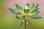 Color Green Framed Prints - Soft Delicate Lotus Blossom Framed Print by Linda Phelps