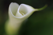 Calla Lilies Plants Framed Prints - Soft Focus Calla Lily Flower Framed Print by Jennie Marie Schell