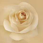 Rose Macro Prints - Soft Golden Rose Flower Print by Jennie Marie Schell