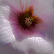 Hollyhocks Photos - Soft Hollyhock by David Patterson