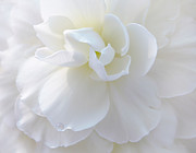 Begonias Posters - Soft Ivory Begonia Flower Poster by Jennie Marie Schell