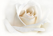 White Rose Framed Prints - Soft Ivory Rose Flower Framed Print by Jennie Marie Schell