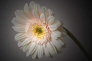 Gerbera Originals - Soft Light. by Terence Davis