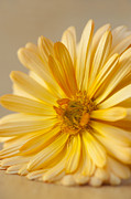 Marigold Framed Prints - Soft Marigold Framed Print by Anne Gilbert