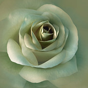 Green Rose Prints - Soft Olive Green Rose Flower Print by Jennie Marie Schell