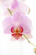 Soft Orchid Print by Hannes Cmarits