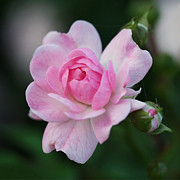 Floral Photos - Soft Pink Miniature Rose by Rona Black