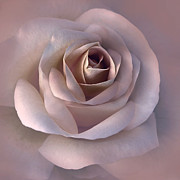 Taupe Photos - Soft Plum Rose Flower by Jennie Marie Schell