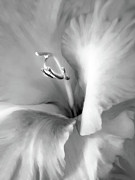Silver And Black Framed Prints - Soft Silver Gladiola Floral Framed Print by Jennie Marie Schell