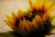 Yellows Framed Prints Framed Prints - Soft Sunflower Framed Print by K Hines