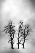 Trio Photos - Soft Trees by Larysa Luciw