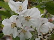 "\""nature Picture\\\"" Pyrography - Soft White Apple Blossoms by Roxanne Luckman"