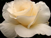 Snezana Petrovic - Soft white Rose
