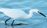 White Egret Posters - Soft White Walk - Bird Art Poster by Sharon Cummings