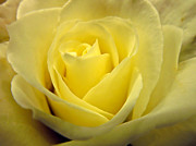 Pete Rose Framed Prints - Soft Yellow Rose Framed Print by Pete Trenholm