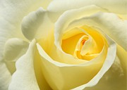 Winter Flower Photos - Soft Yellow Rose by Sabrina L Ryan