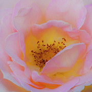English Rose Posters - Softly Rose Poster by Theresa Tahara