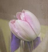 Softly Tulip Print by Arlene Carmel