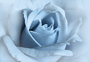 Monochromes Posters - Softness of a Blue Rose Flower Poster by Jennie Marie Schell