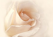 Peach Rose Photos - Softness of a Peach Rose Flower by Jennie Marie Schell