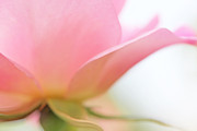 Rose Portrait Photos - Softness of a Pink Rose Flower by Jennie Marie Schell