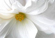 Begonias Posters - Softness of a White Begonia Flower Poster by Jennie Marie Schell