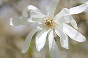 White Magnolias Posters - Softness of a White Star Magnolia Flower Poster by Jennie Marie Schell