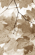 Abstract Leaf Prints - Softness of Brown Maple Leaves Print by Jennie Marie Schell