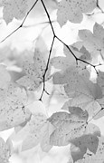 Leaf Abstract Prints - Softness of Maple Leaves Monochrome Print by Jennie Marie Schell