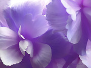 Purple Florals Prints - Softness of Purple Begonias Print by Jennie Marie Schell