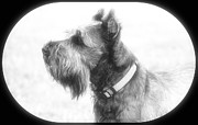 Schnauzer Art Photos - Softy by Mickey Harkins