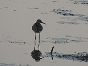Dunlin Framed Prints - Solitary Dunlin Sandpiper at Rest - Calidris alpina Framed Print by JB Ronan