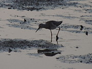 Dunlin Framed Prints - Solitary Dunlin Sandpiper Sillhouette in the Mud - Calidris alpina Framed Print by JB Ronan