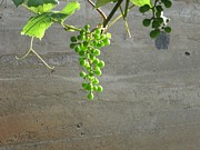 Concord Prints - Solitary Grapes Print by Deb Martin-Webster
