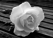 White Roses Originals - Solitary Rose by Terence Davis