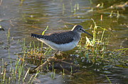 Wildlife Posters - Solitary Sandpiper Poster by James Petersen