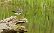 Birds - Solitary Sandpiper  by Mircea Costina Photography