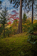 Japanese Garden Photos - Solo Autumn Cedar by Mike Reid