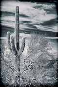 Kelley King Prints - Solo Saguaro Print by Kelley King